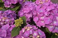 Ballhortensie 'Diva fiore' ® (Violet)