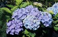 Ballhortensie Everbloom ® 'Blue Wonder' ®