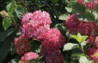 Ballhortensie 'Invincibelle Spirit' ® / 'Pink Annabelle' ®
