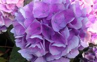 Ballhortensie Magical ® Four Seasons 'Opal ®' Blau