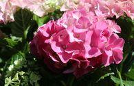 Ballhortensie 'Three Sisters' ® (Pink)