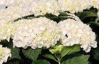 Ballhortensie Everbloom ®  'White Wonder' ®