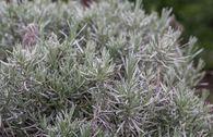 Bastard-Lavendel 'Grappenhall'