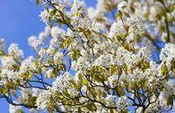 Baum-Felsenbirne 'Robin Hill'