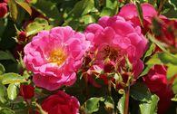 Beetrose 'Bad Wörishofen' ® / 'Pink Emely' ®