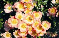 Bodendecker-Rose 'Bienenweide ® Apricot'