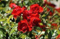 Beetrose 'Black Forest Rose' ®
