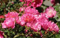 Beetrose / Bodendecker-Rose 'Maxi Vita' ®