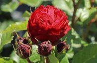 Beetrose 'Red Leonardo da Vinci' ®