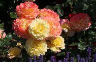 Beetrose 'Rose der Hoffnung' ®