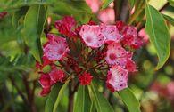 Berglorbeer / Lorbeerrose 'Ostbo Red'