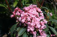 Berglorbeer / Lorbeerrose 'Pink Charme'