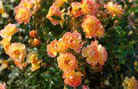 Bienenweide®-Rose 'Fruity'