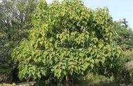 Blauglockenbaum