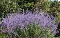 Blauraute / Silberbusch