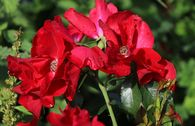 Bodendecker-Rose 'Apache' ®