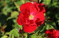 Bodendecker-Rose 'Centro®-Rose'