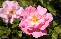 Bodendecker-Rose 'Heidekönigin' ®