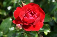 Bodendecker-Rose 'Mainaufeuer' ®