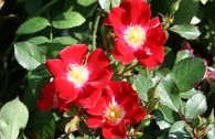 Bodendecker-Rose 'Red Meidiland' ®