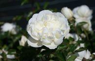 Bodendeckerrose 'White Meidiland' ®