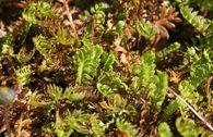 Braunes Fiederpolster / Laugenblume