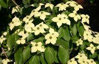 Chinesischer Blumen-Hartriegel 'Barmstedt'