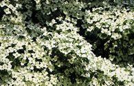 Chinesischer Blumen-Hartriegel 'Claudia'