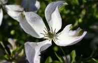 Clematis 'Caerulea Luxurians'