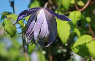 Clematis 'Georg'