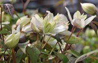 Clematis 'Primrose Star'