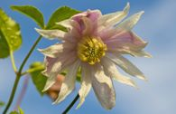 Clematis 'Rosy O' Grady'