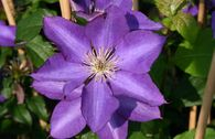 Clematis 'Royalty'