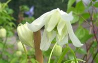 Clematis 'White Lady' / Alpenwaldrebe
