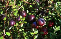 Cranberry / Moosbeere 'Pilgrim'