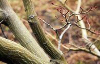 Davids-Ahorn / Schlangenhaut-Ahorn