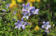Dolden-Glockenblume 'Prichard's Variety'