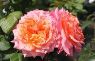 Edelrose 'Albrecht Dürer Rose' ®