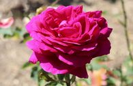Edelrose 'Big Purple' ®
