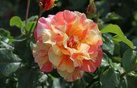 Edelrose 'Fruite' ®