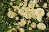 Edelrose 'Lemon Rokoko' ® / Noblesse ® Spray-Rose