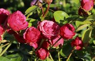 Edelrose 'Magic Rokoko' ®  / Noblesse ® Spray-Rose