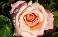 Edelrose 'Paul Ricard' ®