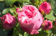 Edelrose 'Playful Rokoko' ® / Noblesse® Spray-Rose