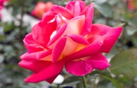 Edelrose 'Rebecca' ®