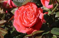Edelrose 'Super Star' ®