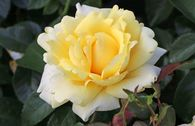 Edelrose 'Winter Sun' ®