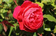 Englische Rose 'Benjamin Britten' ®