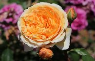 Englische Rose 'Crown Princess Margareta'