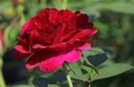 Englische Rose 'Darcey Bussell'